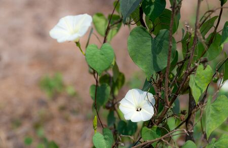 Ipomoea obscura (L.) Ker Gawl. Close up view and copy space. The white flowers have pale yellow stripe. Is vine plant and natural growth.