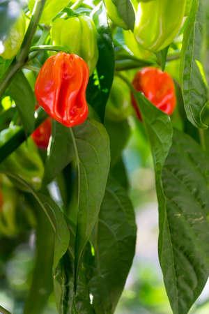 shrub: habanero shrub Stock Photo