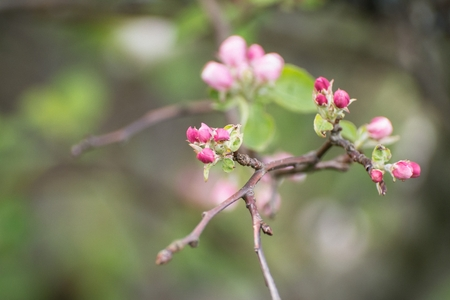 effloresce: Spring, early flowering apple trees