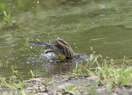 Wagtail in water, Motacilla werae,natural environment 版權商用圖片