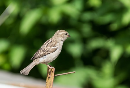 Image of sparrow on nature background.