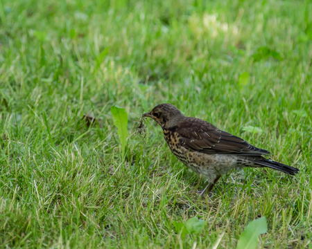 Common starling in a grass. European bird at the grass background. Bird watching. Stock Photo