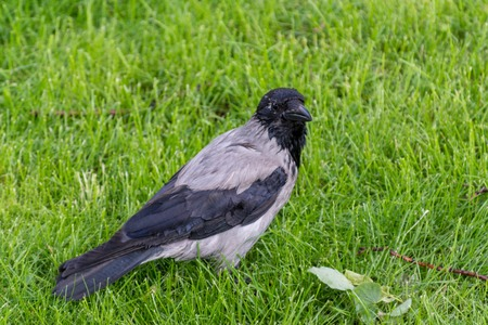 crow bird sitting on a green summer meadow in a park Stock Photo