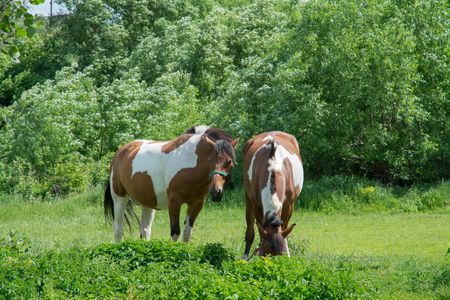Two speckled horses tweak the grass in a meadow Banque d'images