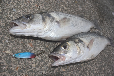 freshly rod caught sea bass,a delicacy of the British Isles photo