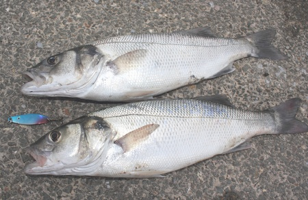 freshly rod caught sea bass,a delicacy of the British Isles Stock Photo - 17147781
