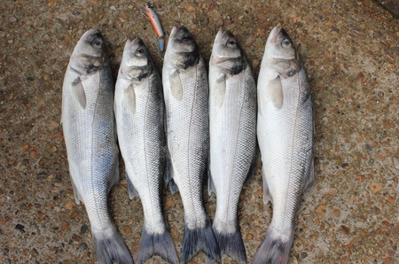freshly rod caught sea bass,a delicacy of the British Isles Stock Photo - 17147794