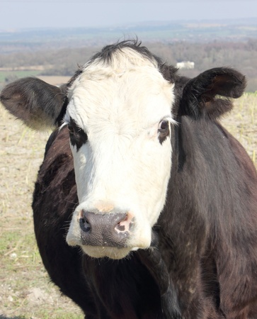 Inquisitive Cow photo