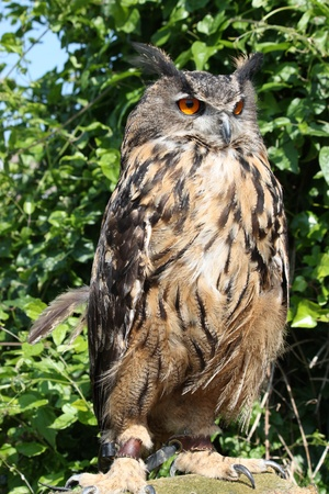 An owl in closeup Stock Photo - 17767723
