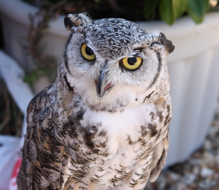 An owl in closeup photo