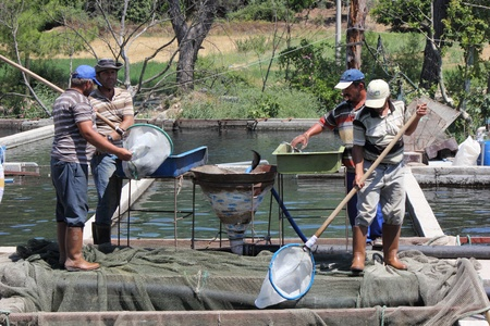 fish rearing: TURKEY,JULY 2013 - Men working on a trout farm in turkey Editorial
