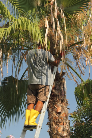 A local turkish gardener trimming down a palm tree, july 2014 Stock Photo - 30314352