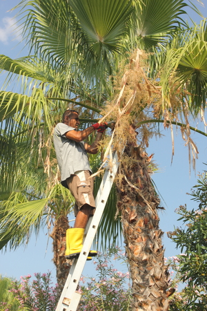 A local turkish gardener trimming down a palm tree, july 2014