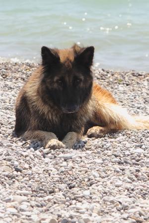alsation: An alsation dog sitting on a stony beach
