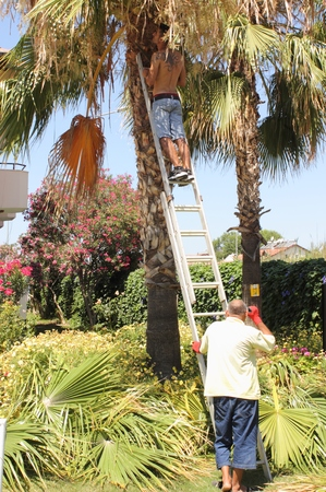 tree trimming: CALIS, TURKEY, JULY 2015: A local turkish gardener trimming down a palm tree, july 2015 Editorial