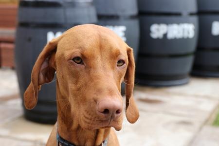 vizsla: A young hungarian vizsla dog