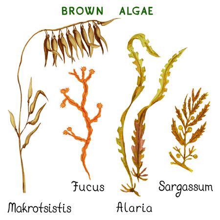 algas marinas: Conjunto de algas acuarela marrón aislado en un fondo blanco