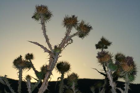 oxigen: twilight thistles Stock Photo