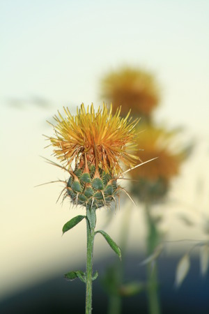 clear thistle crown in forefront