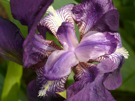wide open lily flower seen from atop