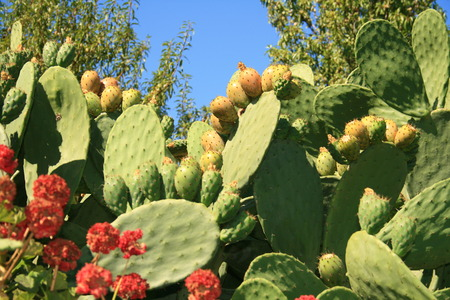 sweat prickly pear fruits from Canary Islands Stock Photo - 1605943