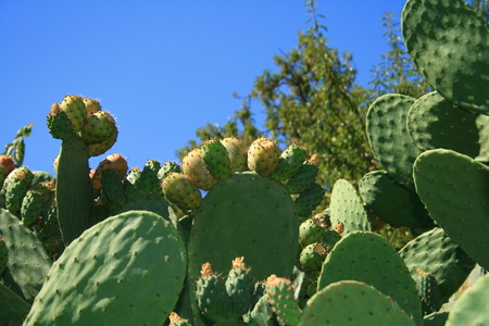 sweat prickly pear fruits from Canary Islands 版權商用圖片 - 1605940