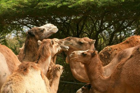 camels family