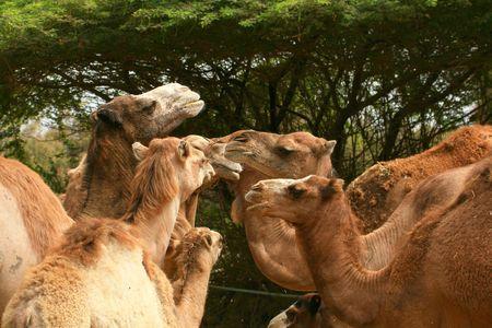 camel's family Stock Photo - 2042049