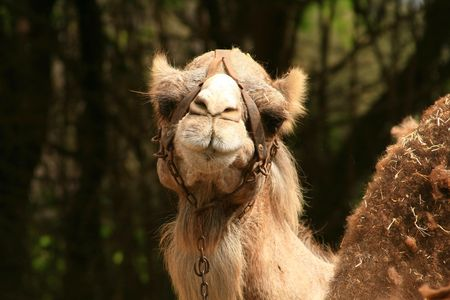 camels smile