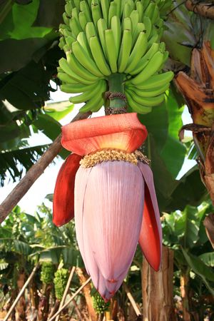 banana flower and cluster Stock Photo - 2153400