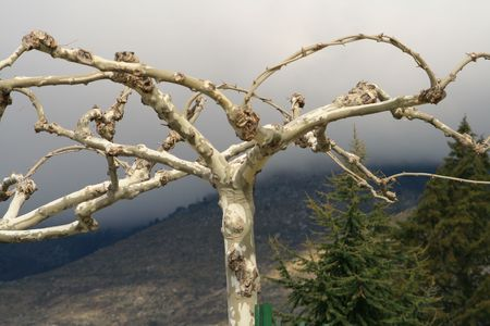 clipped and bent sycamore tree branches with dark misty mountain as background Stock Photo