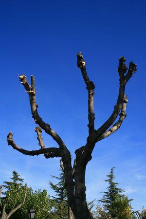 pruned poplar