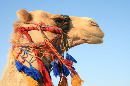 dead sea camel