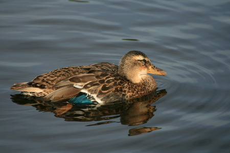 duck in northern Europe