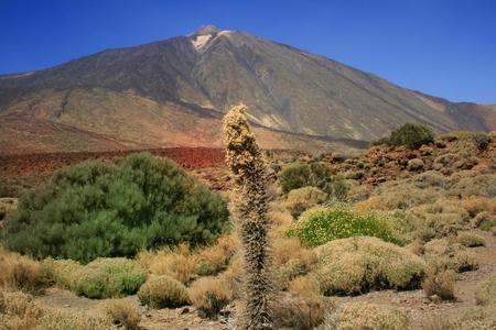 tajinaste flower against volcano Teide