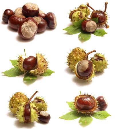 chestnut Standard-Bild