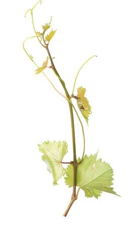 Grapevine Banque d'images - 15192849
