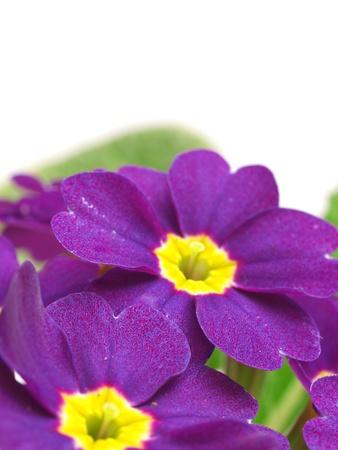 primula: Flower primula