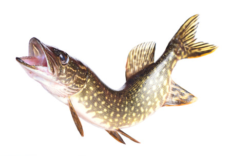 Fish pike photo
