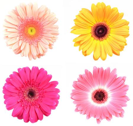 Flower gerbera