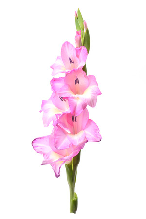 floriculture: Flower gladiolus Stock Photo