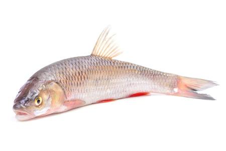 Fish chub photo