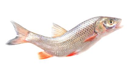 cypriniformes: Fish chub Stock Photo