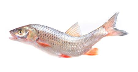 bullhead fish: Fish chub Stock Photo
