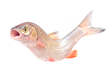 bullhead: Fish chub Stock Photo