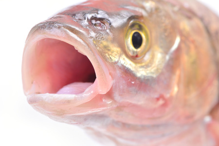 marinelife: Fish chub Stock Photo