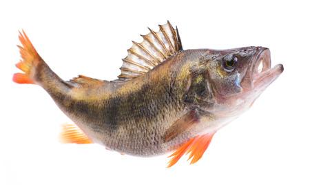 Fish perch Фото со стока