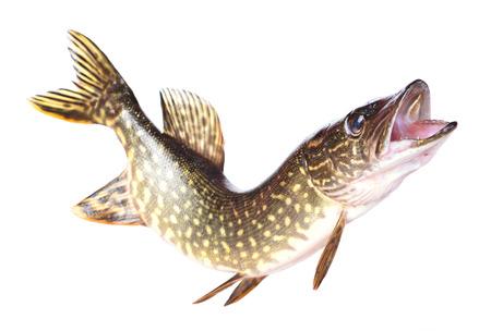 predatory: Fish pike