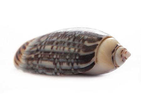 echinoderm: Shell on white  Stock Photo