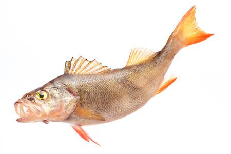 Fish perch photo